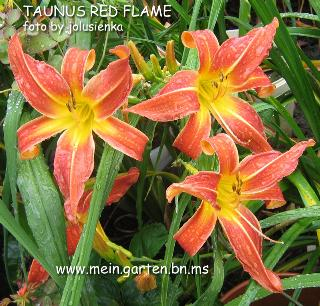 TAUNUS RED FLAME_SPIDER  taglilie-hemerocallis