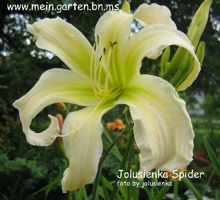 jolusienka-SPIDER-hemerocallis
